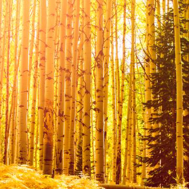 In the san juan range of the Colorado Rocky Mountains autumn turns aspen trees a golden yellow that contrasts their white trunks.