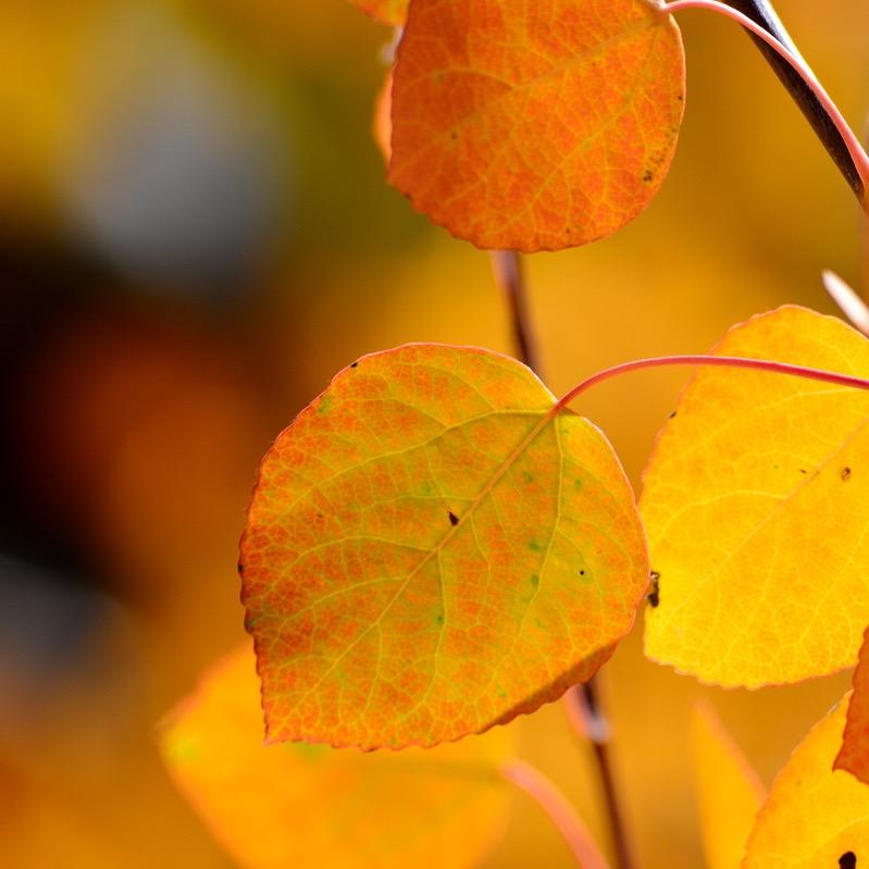 Aspen leaves_ Eastern Sierras in the fall.