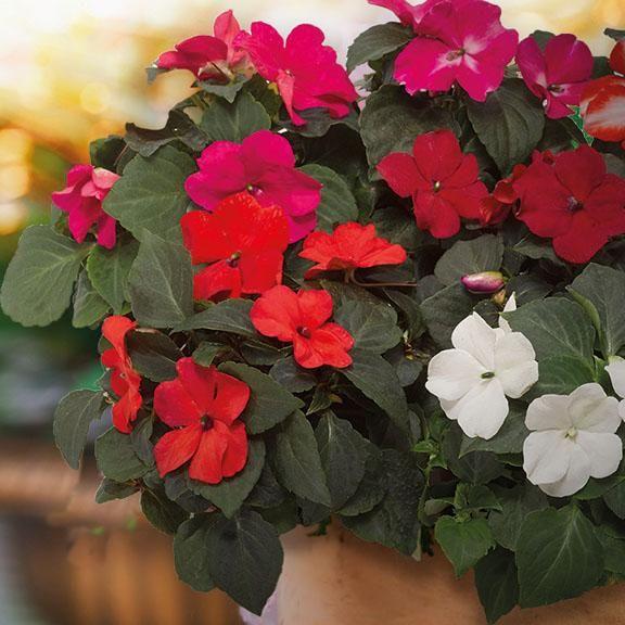 "4/"" POT SUN TOLERANT 1 LIVE PLANT IMARA RED IMPATIENS"