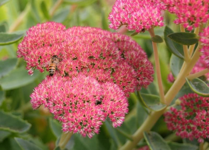 A bee takes solo advantage of the sedum flowers.
