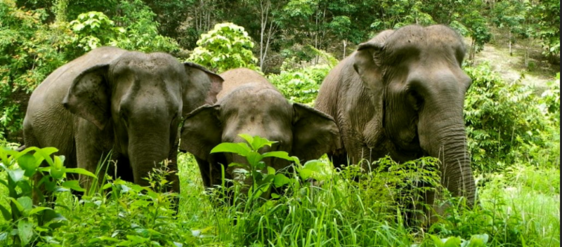 elephants are an endangered species