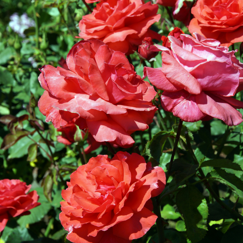 Take Time to Smell _and Prune_ the Roses Workshop
