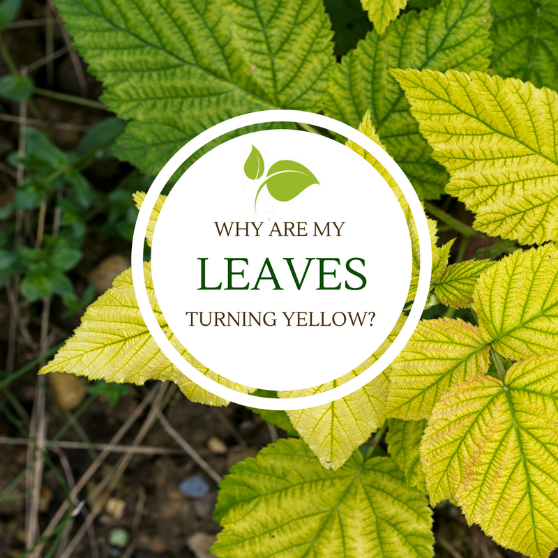 Why are my leaves turning yellow_