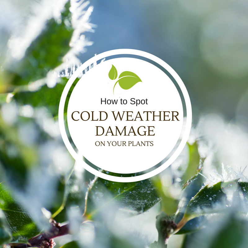 cold weather damage to your plants