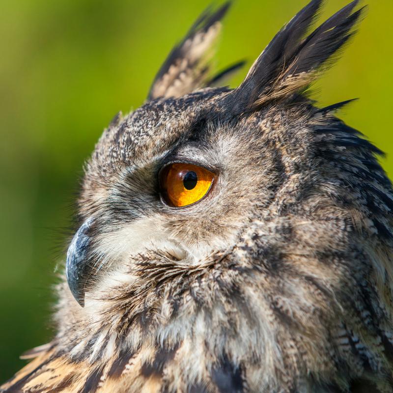 owl prowl
