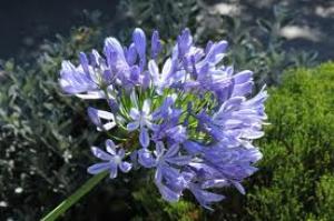 aggapanthus