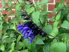 salvia blue and black