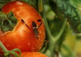 leaf footed bug on tomato