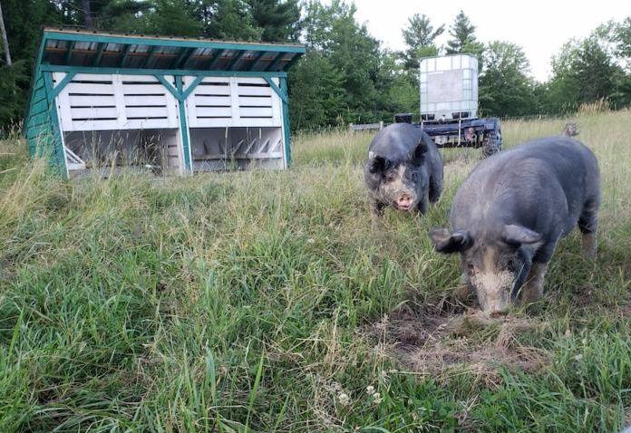 UMaine Berkshire pigs in pasture