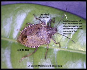 brown marmorated stink bug with labels