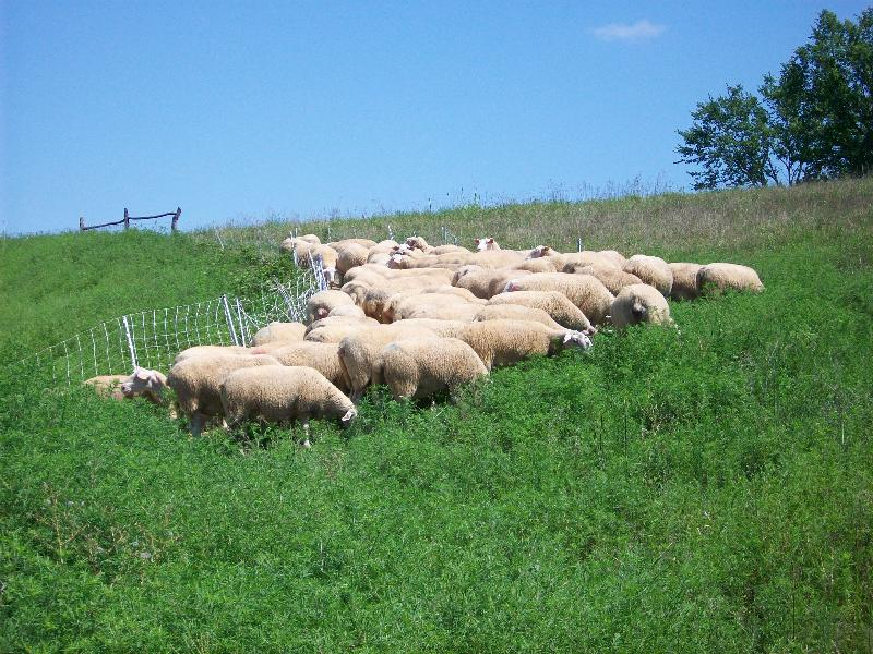 sheep on lush pasture