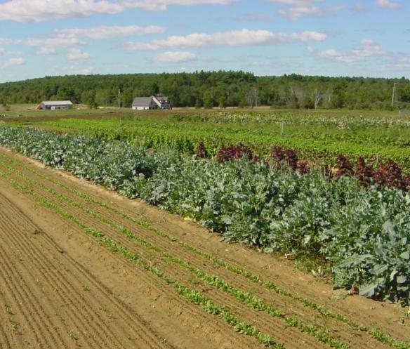 lettuce planted in field