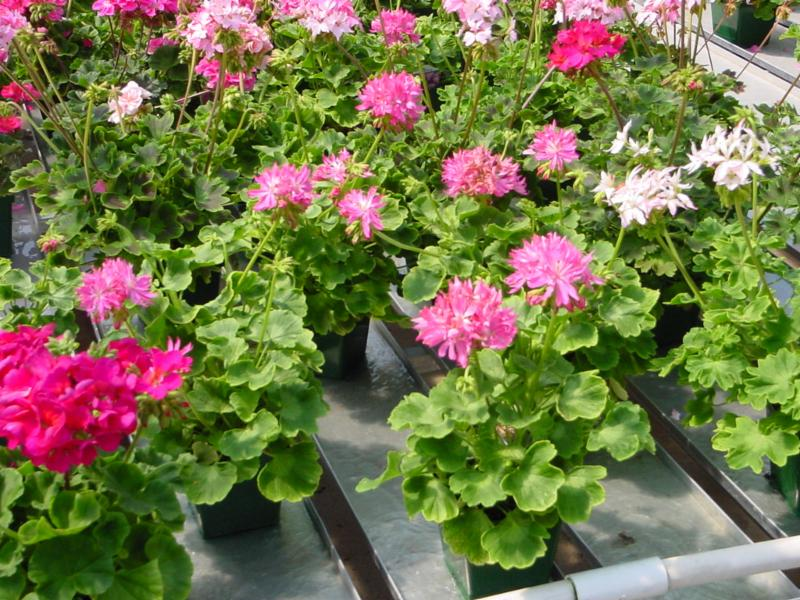 pink and white geraniums on trays in greenhouse