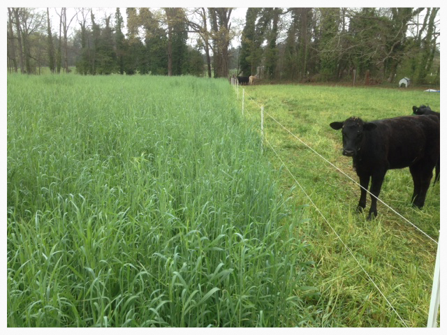 Strip Grazing Holcomb blend
