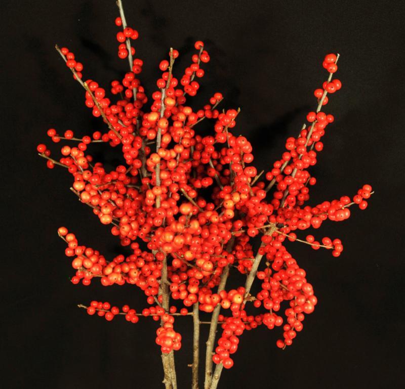 Orange-red Flame Ilex