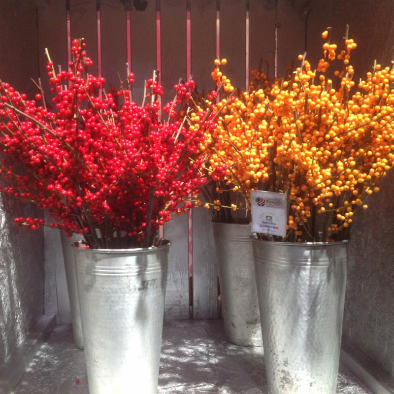 Red and Gold Ilex