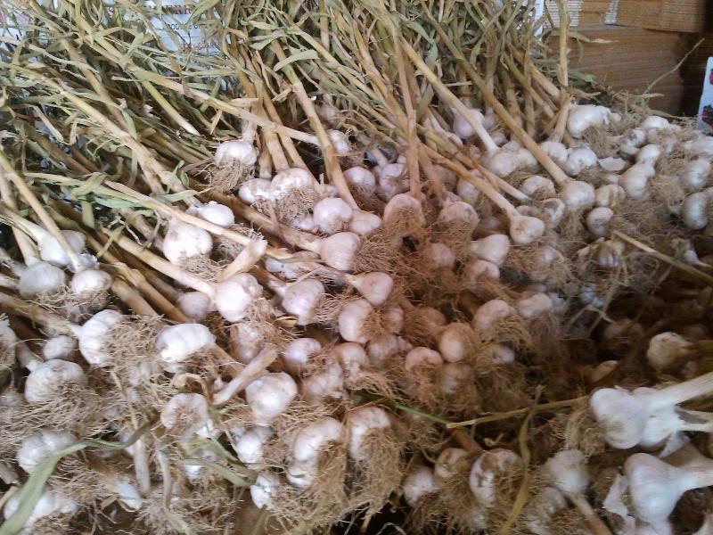 garlic curing