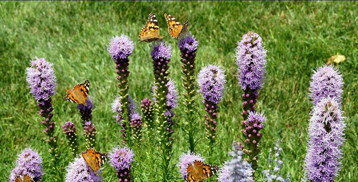 Keast garden scene with liatris and painted butterflies