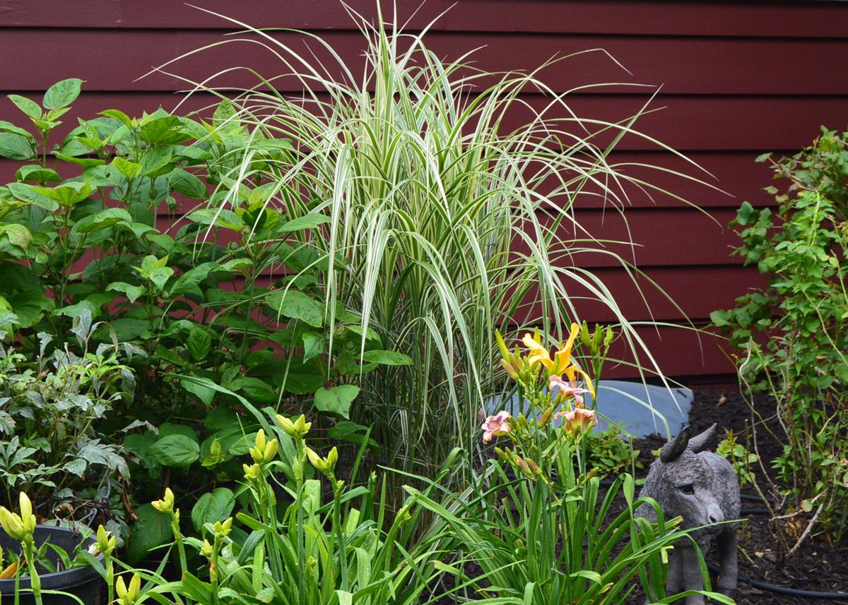 Zebra grass at Nancy Lee Anderson's Farmony Garden