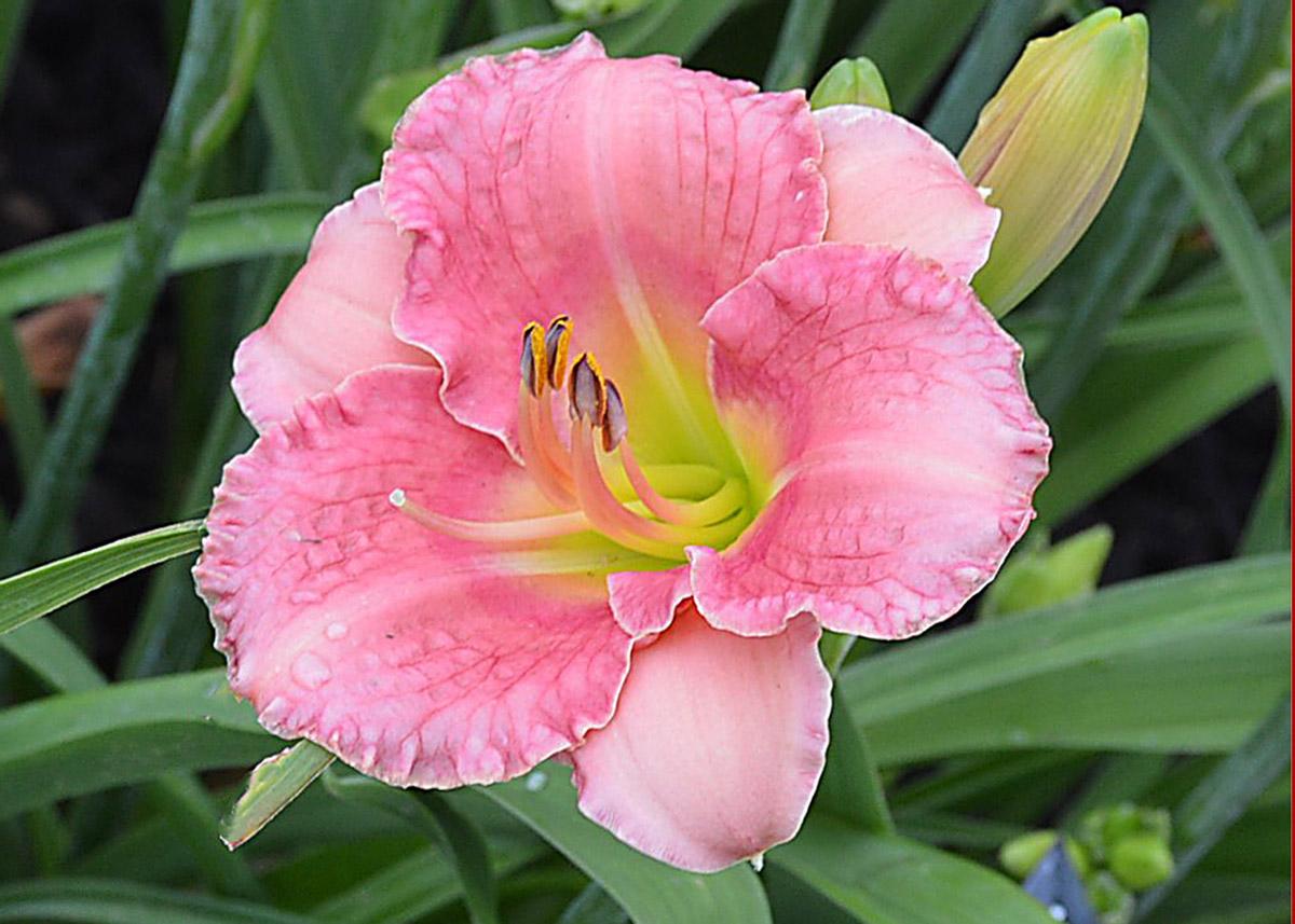 Hemerocallis 'Broadway Pink Slippers' by Grace Stamile (1995) in Nancy Lee Anderson's Farmony Garden