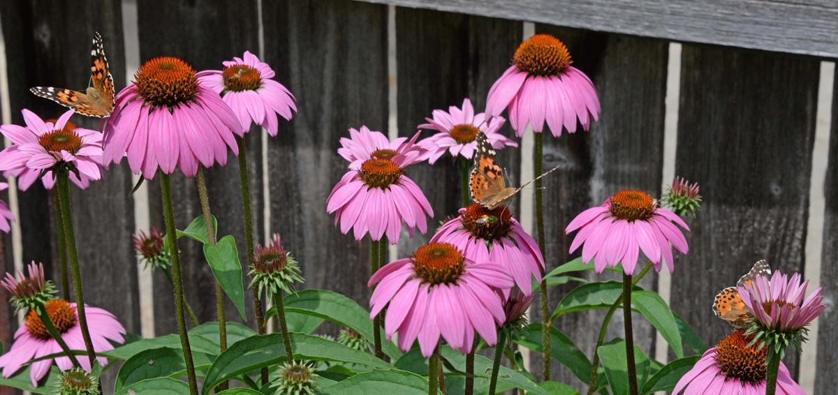 Painted butterflies on echinacea