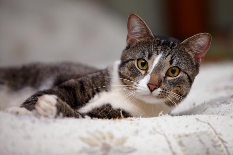 grey_cat_lying_down.jpg