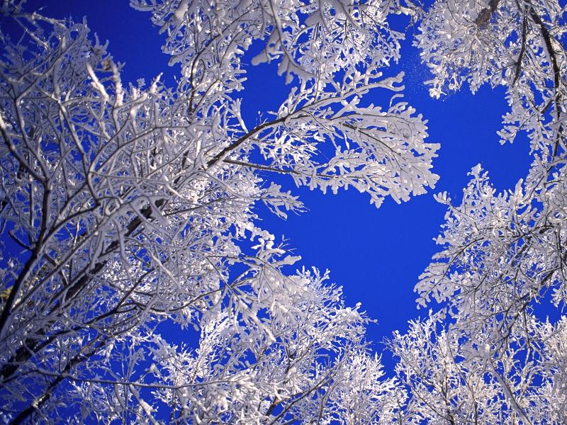 Winter: Frosted Trees