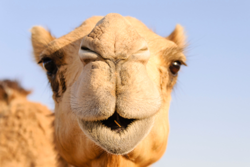 Closeup of a camel s nose and mouth_ nostrils closed to keep out sand