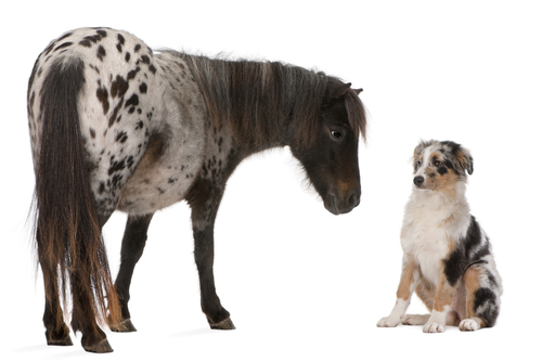 Appaloosa Miniature horse_ Equus caballus_ 2 years old_  and Australian Shepherd puppy_ 4 months old_ in front of white background