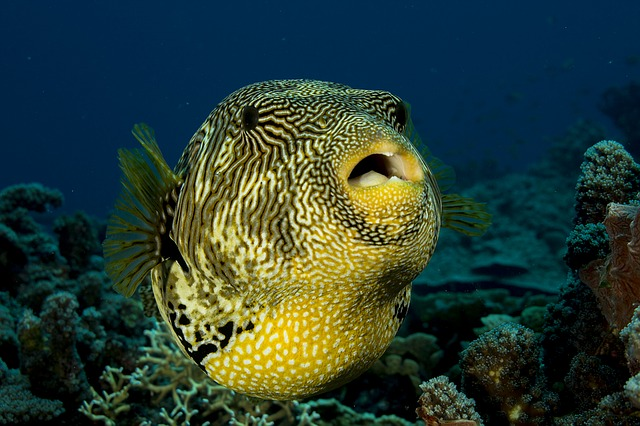 Could a Pufferfish be the next