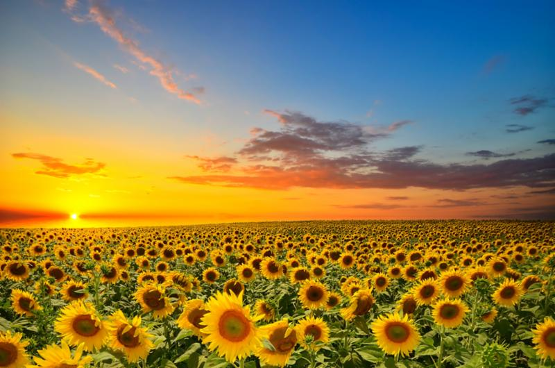 field_of_sunflowers.jpg