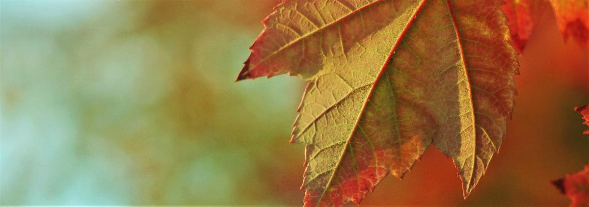 Photo of a leaf turning slowly from green to bright orange as autumn takes hold