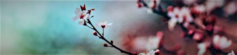 Banner Image - Photograph of cherry blossoms blooming against a bright blue sky.