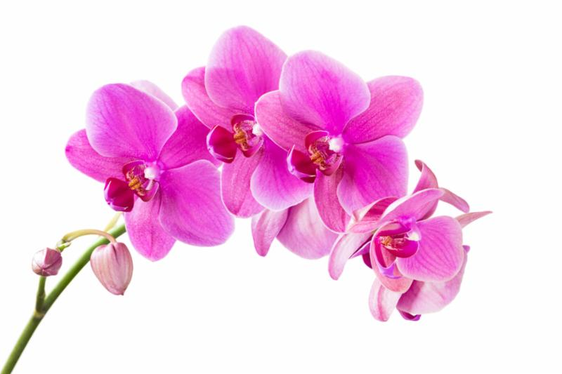 pink_orchid.jpg