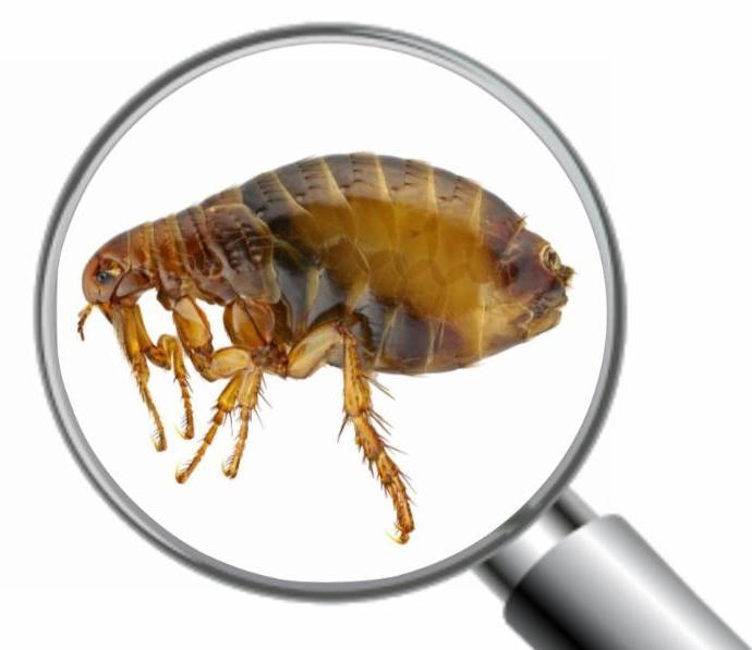400 flea