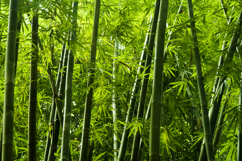 Lanscape of bamboo tree in tropical rainforest_ Malaysia