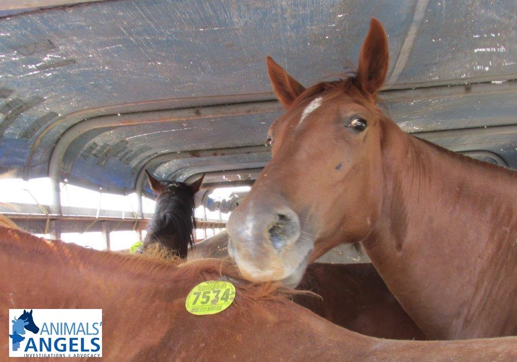 Horses inside Slaughter Trailer