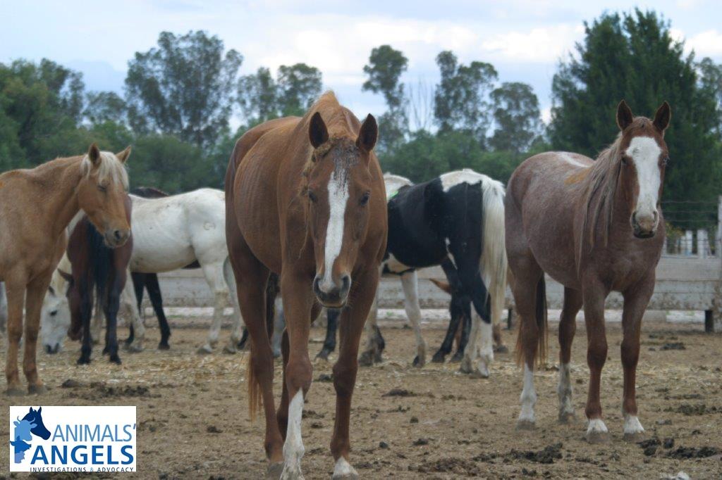 Horses at Carnicos de Jerez Plant