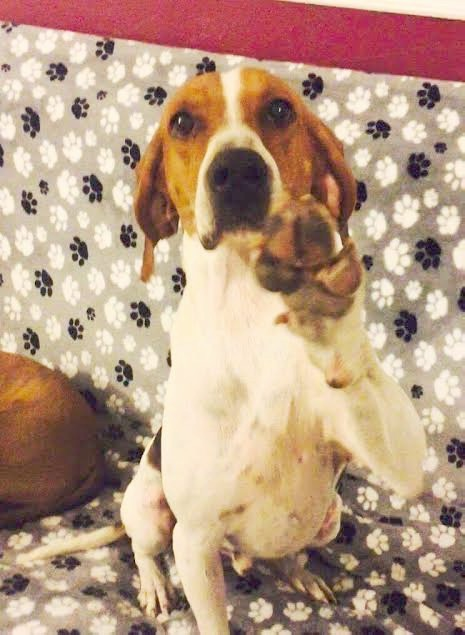 Imagine Pet Rescue, Fred- Hound Dog
