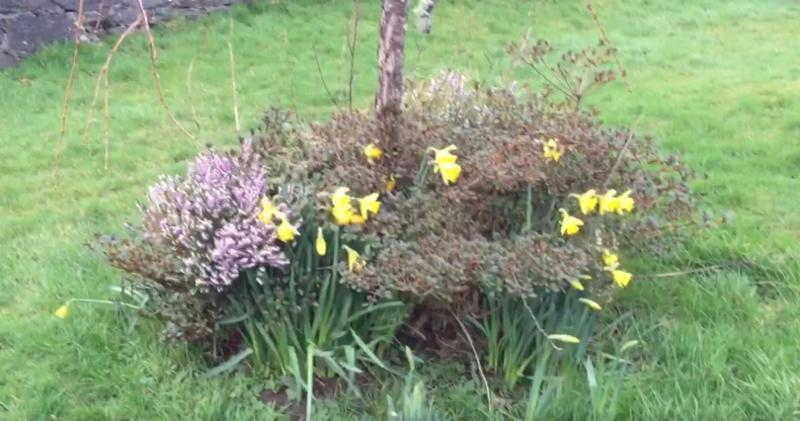 Photo of daffodils by the canal basin