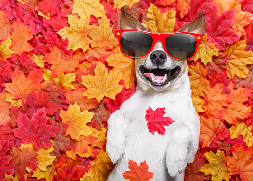 jack russell dog _ lying on the ground full of fall autumn leaves_ sleeping and lying on the back torso_ wearing funny sunglasses