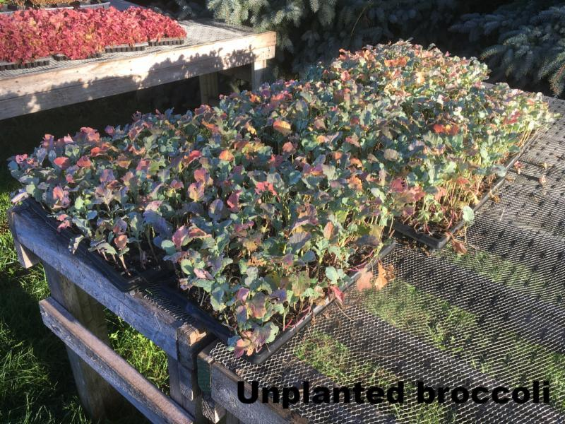Un-planted broccoli