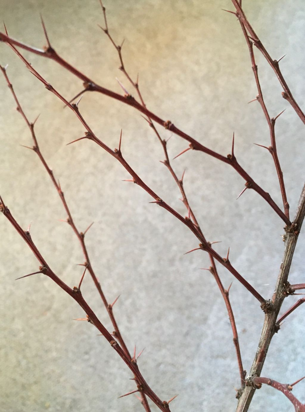 A thorny barberry bush branch