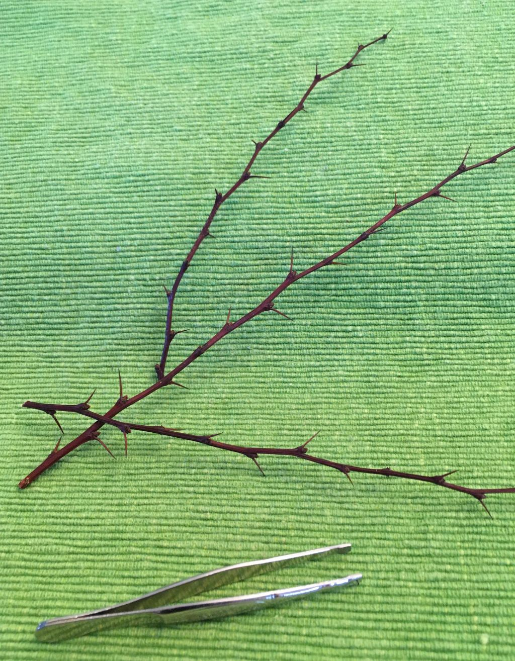 Three thorny barberry bush twigs and a tweezer on a green background