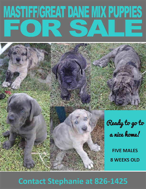 mastiff great dane mix puppies for sale