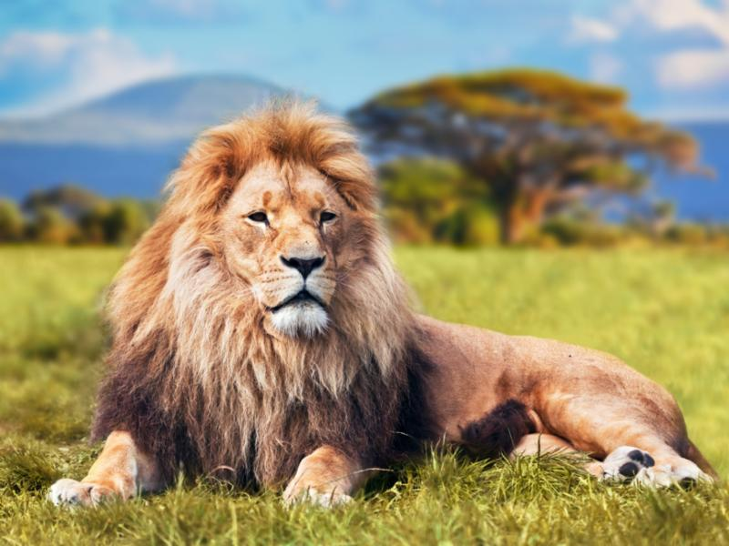 lion_lying_down_outside.jpg