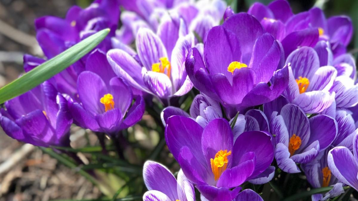 Photo of purple crocuses growing in a garden.