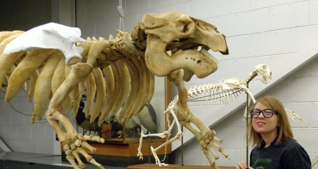Volunteer and manatee skeleton