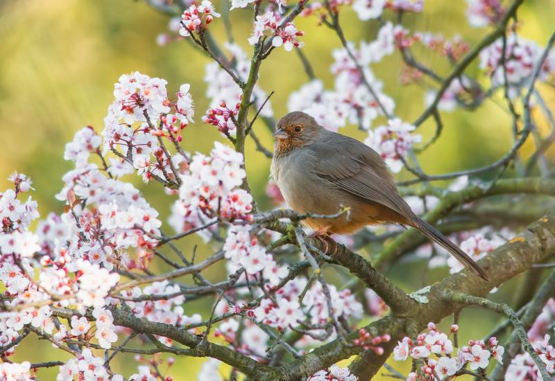AP towhee by Jerry Ting