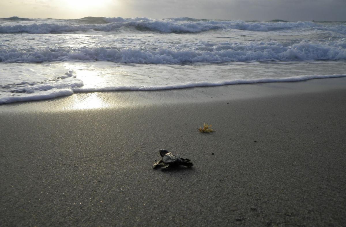 Baby sea turtle crawling on beach towards water